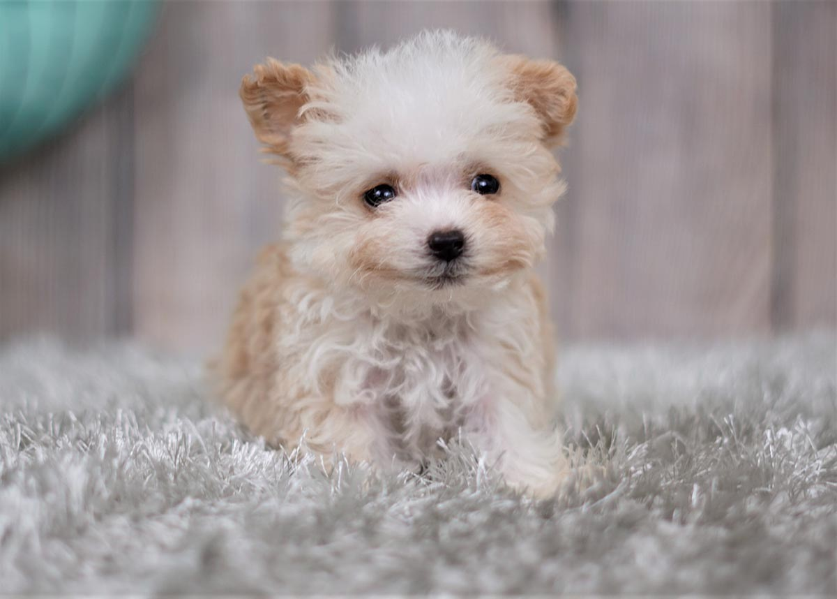 Chandler The Teacup Maltipoo 1 600 Top Dog Puppies