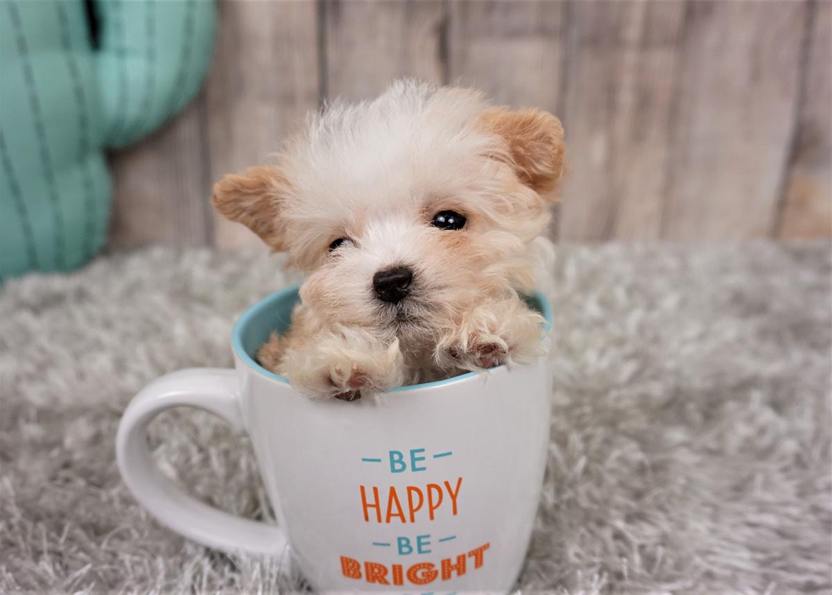 Chandler The Teacup Maltipoo 1 600