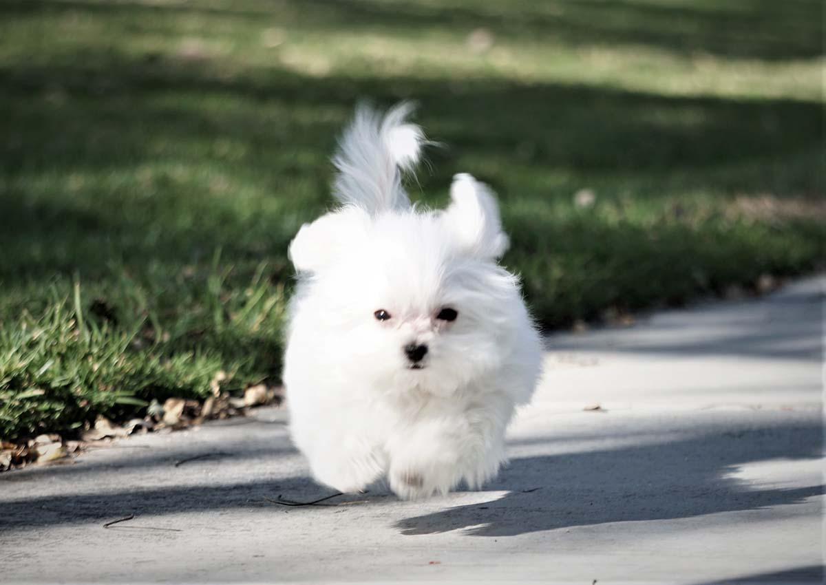 Bubble the Teacup Maltese ($2,900) - Top Dog Puppies