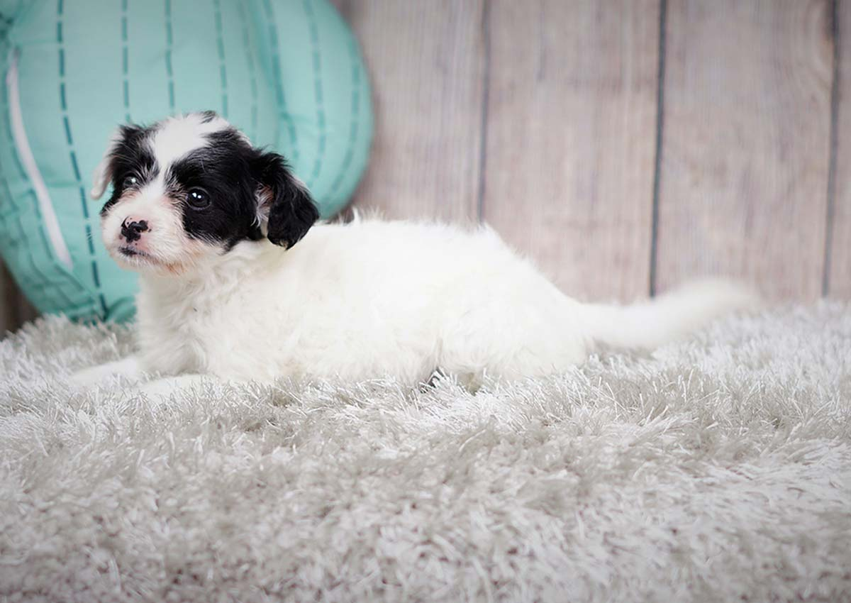 Jill the Malchipoo ($400) - Top Dog Puppies