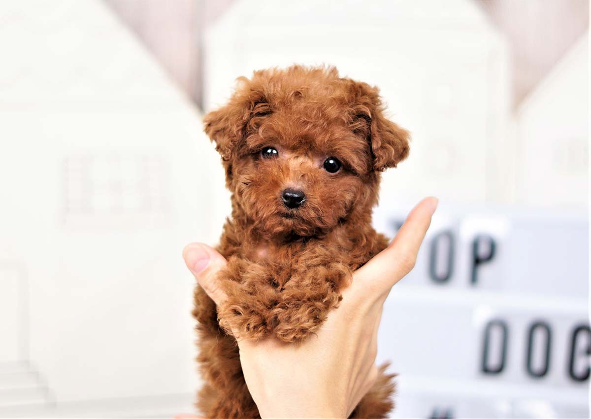 Le The Teacup Poodle 3 300
