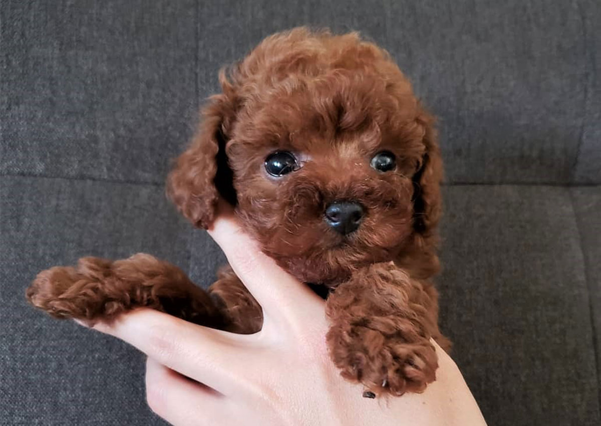 Choco the Teacup Poodle ($3,400) - Top Dog Puppies