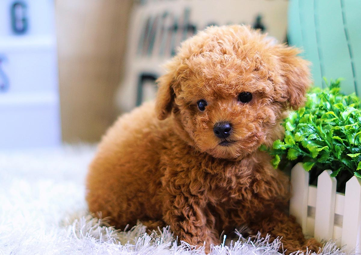Poodle Teacup All Pet Naturals Blog