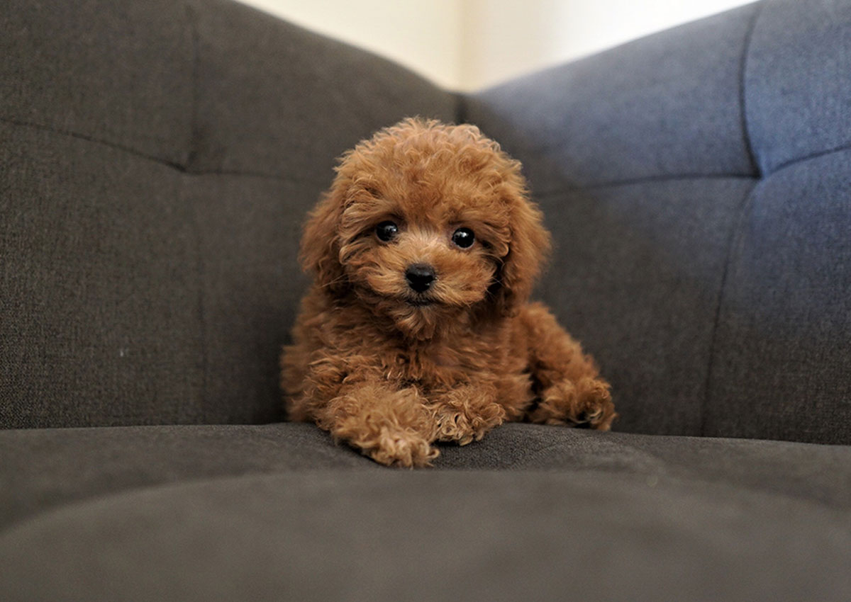 Blake The Teacup Poodle 3 300 Top Dog Puppies